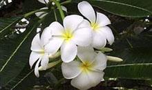 village-flower